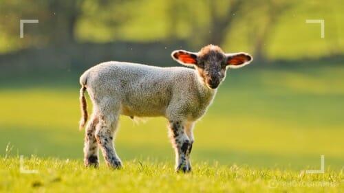 Photographing farm animals