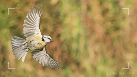 photographing blue tit in flight